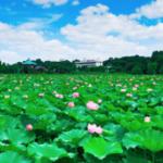 今年は上野の蓮は当たり年