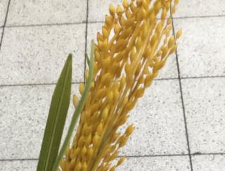 駅にて 「すみません…それは何ですか?」 「これは…稲です…」