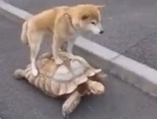 カメに犬が乗っています