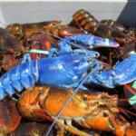 【鮮やか】確率200万分の1!漁師がブルーのロブスターを捕まえる