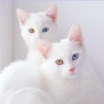 """""""オッドアイ""""をもつ、世界一美しい双子姉妹ネコ、アイリスとアビス"""