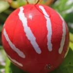 庭先で、かわいらしい実をつけたオキナワスズメウリ。オモチャウリとも呼ばれますが、確かに玩具のようです(^O^)