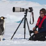 野生のペンギンはカメラを珍しがって近づいていく傾向があります。