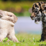 ウサギと仔トラの散歩が一緒になりました!