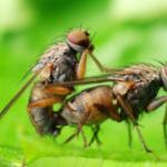 性的欲求満たされないオスは飲酒に走る―ハエの研究で判明