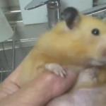 ハムスターの前歯をカットしようとしたら口から大量のピーナッツが….