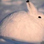 【ホッキョクウサギ】 北極圏に生息するうさぎ。 非常にモフモフな外見とは裏腹に