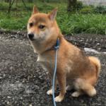 父親からLINEで犬の散歩風景が 「リードを忘れたので、LANケーブルで歩いてます。」