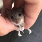 ホームセンターにネズミおったから売り物が逃げ出したと思って店員さんに渡そうとしたら全力で拒否されて「うちに生き物いませんっ!」て、野ネズミだった