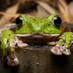 過去僕が出会ったカエルの中で最も笑わせてくれた子。 ある夜雑木林を歩いていたら巨大なモリアオガエルが真顔で竹風呂に浸かっていた。