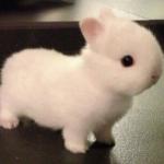 「チュウゴクノウサギ(短耳兎)」。  中国に生息するウサギ科の野生動物。 夜行性です。 もちろん生きています。