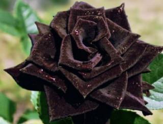「トルコのハルフェティ村には真っ黒なバラが自生している」という話は、残念ながら間違いです。実物は真っ黒いというほどではなく暗い赤という感じ。