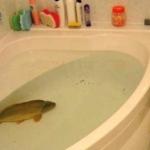 ポーランドのクリスマスの風物詩。風呂桶に生きた鯉。