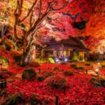 滋賀県近江八幡にある教林坊、晩秋を彩る圧巻の赤の世界です。ついに最高のタイミングで見ることが出来ました。