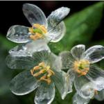 山荷葉という花は朝露や雨に濡れると氷のような透明になります。すごい。