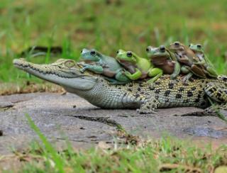 インドネシアで背中に5匹のカエルを乗せたワニが撮影される