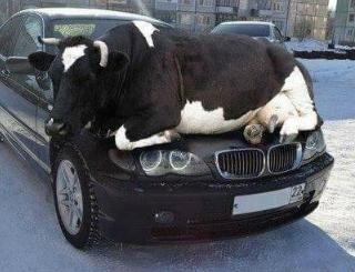 日本:「肌寒い季節・・・猫たちが暖かい場所を求め、車のボンネット中に入り込むケースが増えています。車に乗り込むその前にちょっとチェックすれば、助かる命があるのです。」ロシア:「」