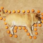 柴犬の外周を示す数値がバナナから「みかん○○個分」に変更するという方針を政府が固めたって聞いたので測っとく。 まるの外周は33個分です!(熊本県産みかん)