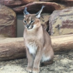 小型ネコ科 ピンと立った耳が特徴のカラカルです。