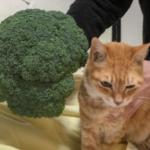 父からのLINEで、ただでかいブロッコリーを買ったというだけのことを伝えたいがために、尺度に使われる実家の猫かわいそう
