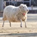 羊さんの調子がMAX良い時のみ撮れる空中浮遊!!