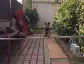 我が愛しの愛犬、自信満々に失敗。