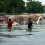 2017年5月11日 インドネシア マルク島に巨大なイカが漂着。15メートル。