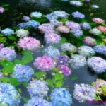 梅雨らしく雨が続いているので以前にUPした紫陽花を。