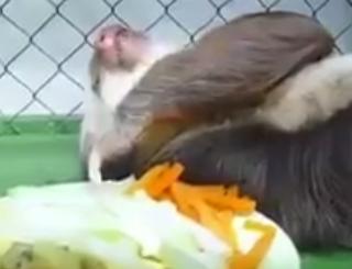 ナマケモノの食事見てたらあらゆる不安がどうでも良くなるからオヌヌメ