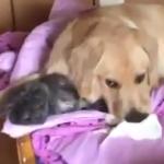 猫の話じゃない 実家の犬が猫を枕にしているそうです