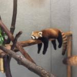 円山動物園、レッサーパンダがこの体勢で爆睡してて笑った