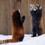 コレがレッサーパンダの威嚇行為であるということを人類はまだ理解できない…。