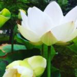 50年、100年に一度咲くと言われている双頭蓮、本日無事に開花致しました。