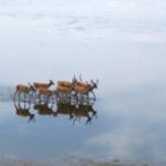 雄のエゾシカ集団が水鏡になったところを歩いていた