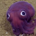 """【まるでぬいぐるみ】タコみたいな紫の""""イカ""""!カリフォルニア沖の深海で発見"""