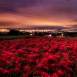 奈良県御所市では彼岸花の群生をあちこちに見ることが出来ます。
