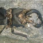 2500〜2800年前(縄文時代晩期)のノコギリクワガタ。ずっと土の中で形を保ってました。