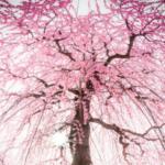 鈴鹿の森庭園の過去の写真です。あまりの枝ぶりによく桜と間違えられますが梅の写真です。
